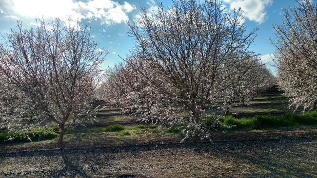 Valley orchard in bloom