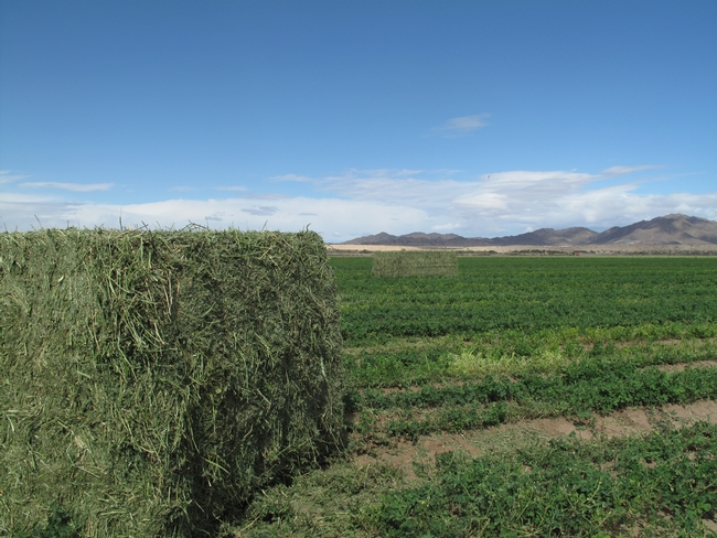Photo of Bales of hay and an alfalfa field in S. California