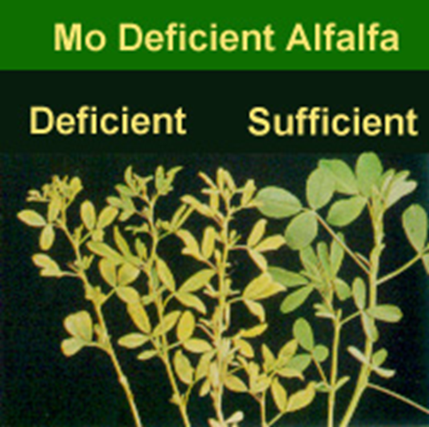 Molybdenum deficient alfalfa