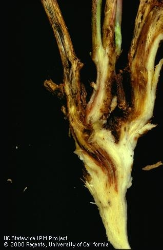 Shows a infected alfalfa crown with dark discoloration extensing down into the crown in a v-shaped pattern