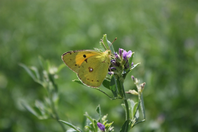 Alfalfa butterfly feeding on alfalfa blossoms