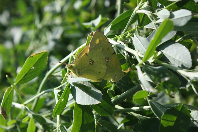 Alfalfa butterflies mating