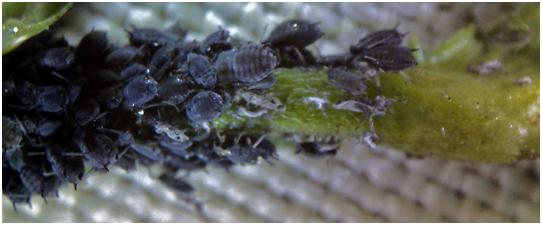 Cowpea aphid on alfalfa stem