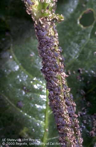 Cowpea aphid on alfalfa stem
