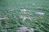 Ground squirrel damage to alfalfa.
