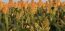Sorghum for Alfalfa & Forage News Blog
