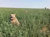 Joey in an alfalfa field in Yolo County, 2017.