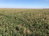 Frost damage to alfalfa, Yolo Co, 2018