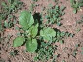 Weeds in seedling alfalfa.
