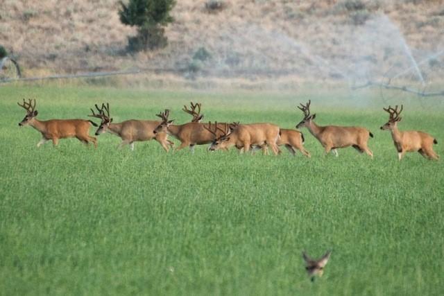CA Alfalfa Landscape Provides Wildlife Habitat