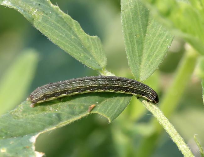 Beet armyworm larvae