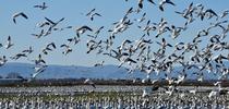 Geese in Alfalfa-Sacramento Valley CA for Alfalfa & Forage News Blog