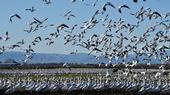 Geese in Alfalfa-Sacramento Valley CA