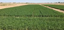 UC Variety Trial for Alfalfa & Forage News Blog