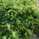Jasmine battling myoporum and weeds.