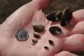 "Mussels compared to a dime. From UC Agicultura y Recursos Naturales website article, ""Mejillones invasores amenazan reservas acuáticas de California."" Copyright Regents of the University of California 2013."