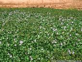 Water Hyacinth mat in bloom. Photo by Joe DiTomaso, author, Aquatic and Riparian Weeds of the West