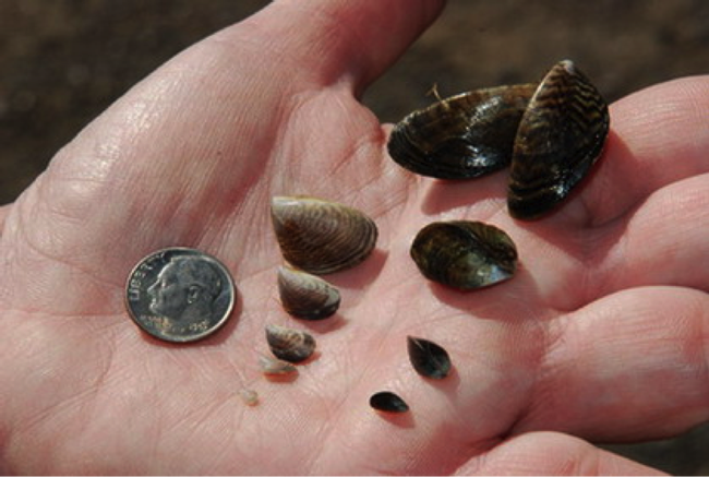 "Mussels compared to a dime. From UC Agicultura y Recursos Naturales website article, ""Mejillones invasores amenazan reservas acuáticas de California."" Copyright Regents of the University of California 2013."