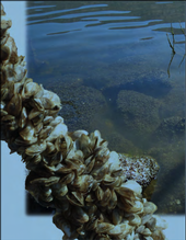 Invasive quagga mussels encrusting rocks and formerly submerged shrubs at El Capitan Reservoir, San Diego County, California. Photos by Carolynn Culver; collage by Gillian Clague, California Sea Grant Extension.