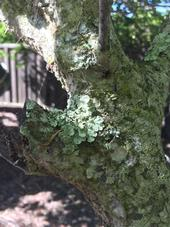 lichen covered trunk