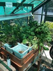 green house lettuce