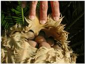 female sago palm