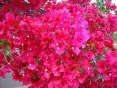 Bougainvillea 'San Diego Red'