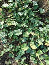 mallow weed