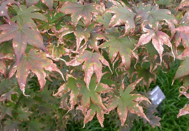 Japanese Maple leaf scorch