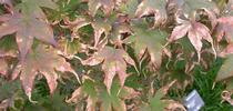 Japanese Maple leaf scorch... <br>picture: Missouri Botanical Garden for HOrT COCO - Contra Costa Master Gardeners Blog