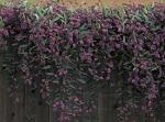Lilac Vine