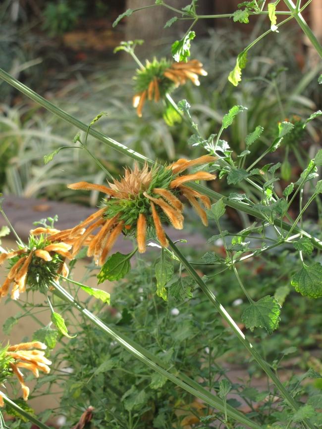 Leonotus leonurus