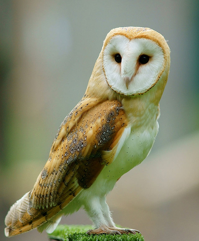 HOO-hoo-hoo Would Have Thought? Controlling Rodents With Owls   Cats