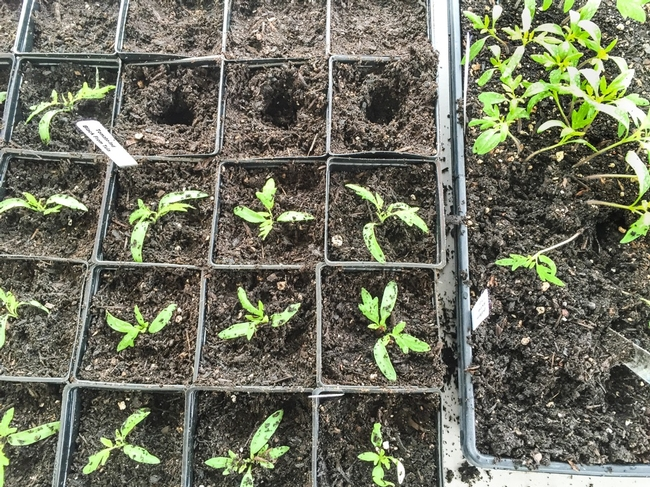sprouted seedlings being transplanted