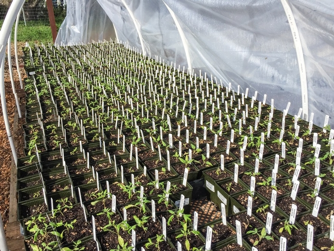 Seedlings arranged on pallets in Greenhouse