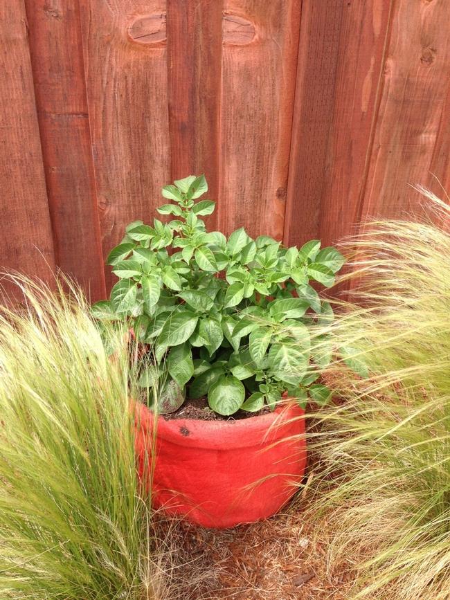 Orange Potato Bag planted with potatos in full leaf