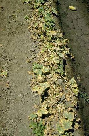 Cucumber plant affected by verticillium wilt