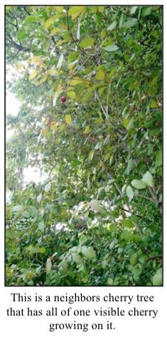 Cherry Tree with one cherry
