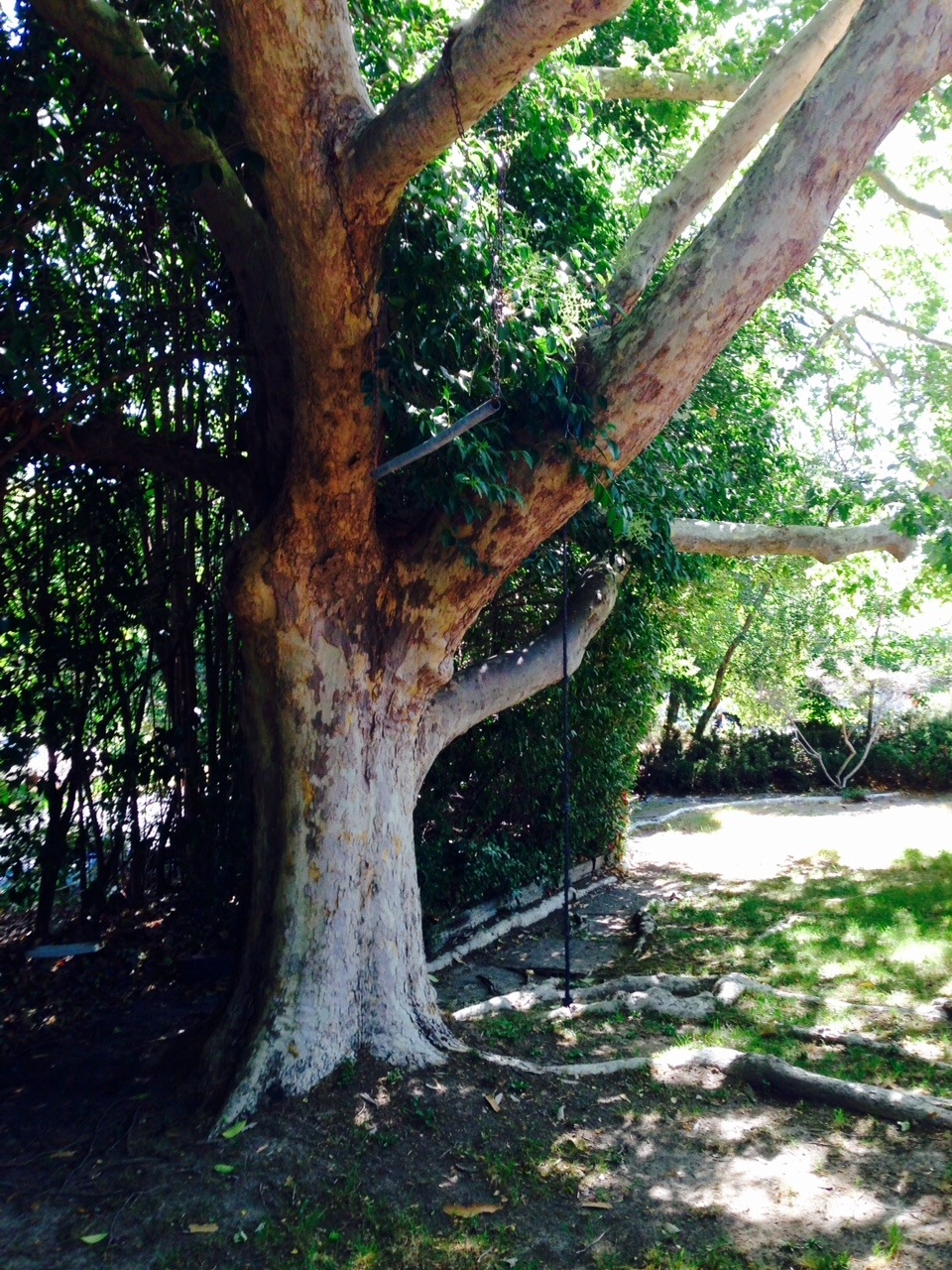 65 Year Old Sycamore Tree