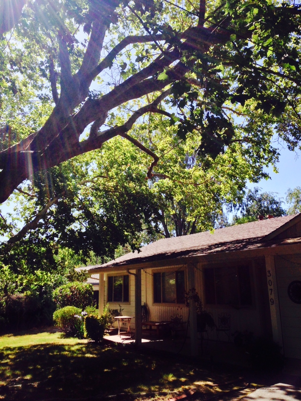 Sycamore Tree Branches Over Roof