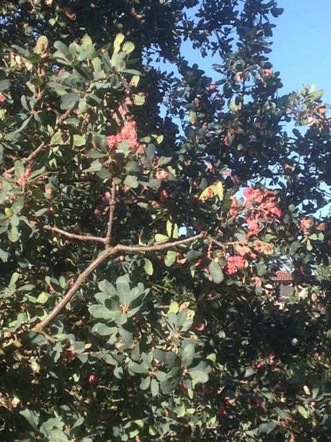 Blue Oak Turing Pink?