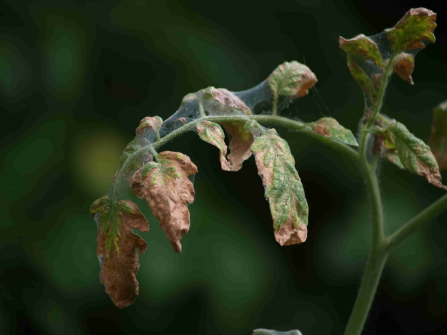 Spider Mite significant damage on tomatoes