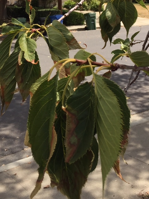 Is Your Fuji Cherry Tree Drooping Hort Coco Uc Master Gardener Program Of Contra Costa Anr Blogs