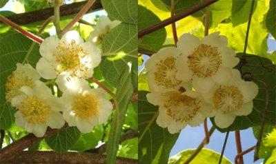 male (l) & female (r) kiwi-flowers