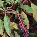 Pokeweed berries<br>photo: UCANR