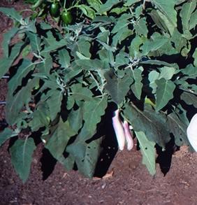 JapaneseEggplant -- pix: MG San Diego