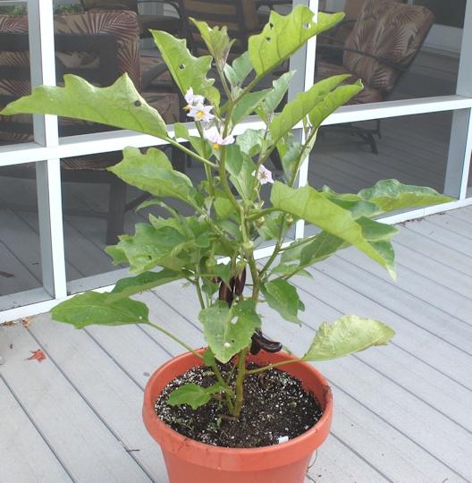 <b>Eggplant growing in pot</b><br>pix:ourhappyacres.com