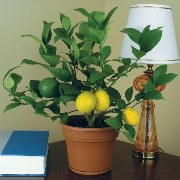 <b>meyer lemon</b><>br: pix: Logees