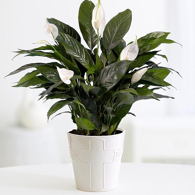 Peace Lily<br>pix: proplants.com