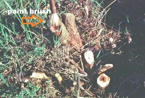 Applying herbicide to cut stump<br>in this instance poison oak